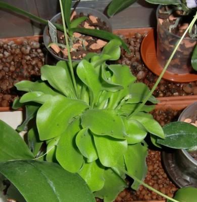 Meine gro e leidenschaft die phalaenopsis fragen for Obstfliegen in blumenerde
