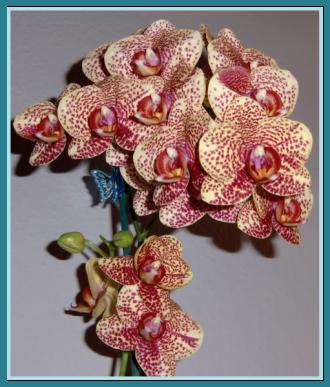 meine gro e leidenschaft die phalaenopsis d nger f r. Black Bedroom Furniture Sets. Home Design Ideas
