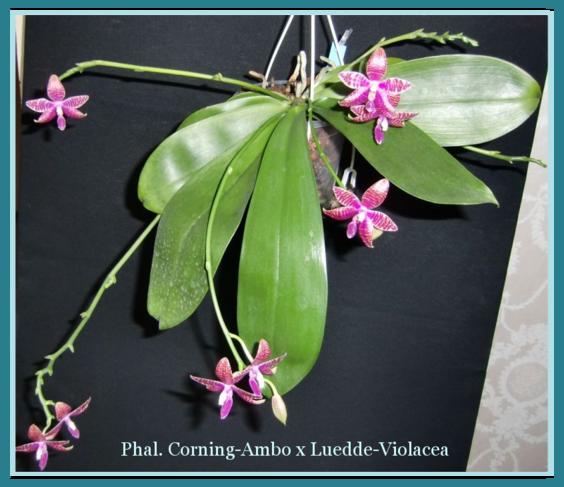 meine gro e leidenschaft die phalaenopsis wurzeln rispen. Black Bedroom Furniture Sets. Home Design Ideas