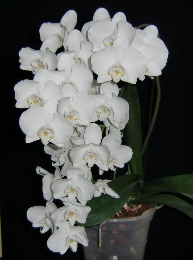 meine gro e leidenschaft die phalaenopsis ruhende augen. Black Bedroom Furniture Sets. Home Design Ideas