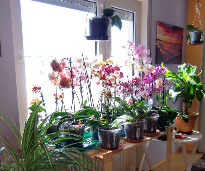 Ganz und zu Extrem Meine große Leidenschaft, die Phalaenopsis - Orchideen und Licht &RH_05