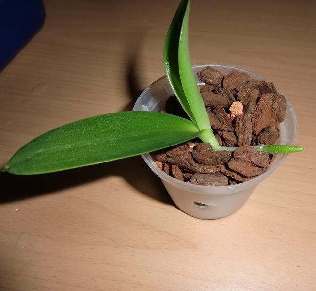 meine gro e leidenschaft die phalaenopsis stiel. Black Bedroom Furniture Sets. Home Design Ideas