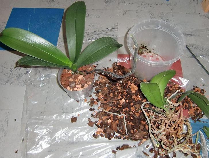 Meine Große Leidenschaft Die Phalaenopsis Fragen Antworten