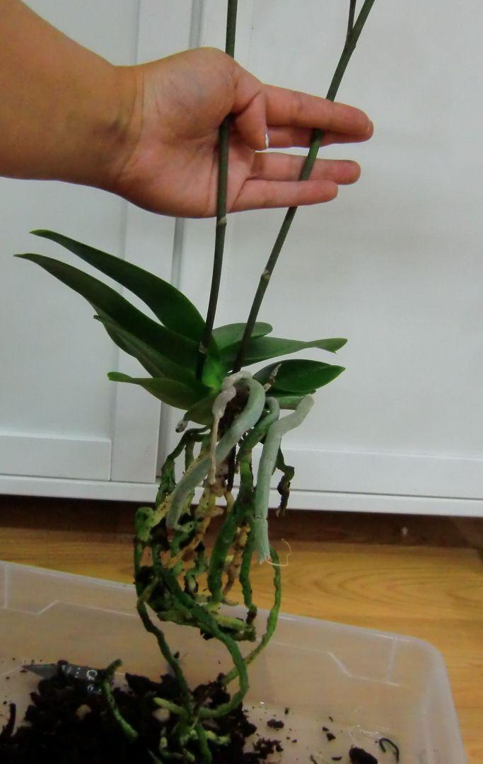 meine gro e leidenschaft die phalaenopsis tipps wichtiges beim umtopfen. Black Bedroom Furniture Sets. Home Design Ideas