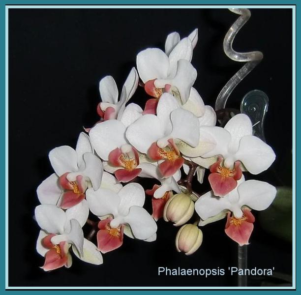 meine gro e leidenschaft die phalaenopsis faszination. Black Bedroom Furniture Sets. Home Design Ideas