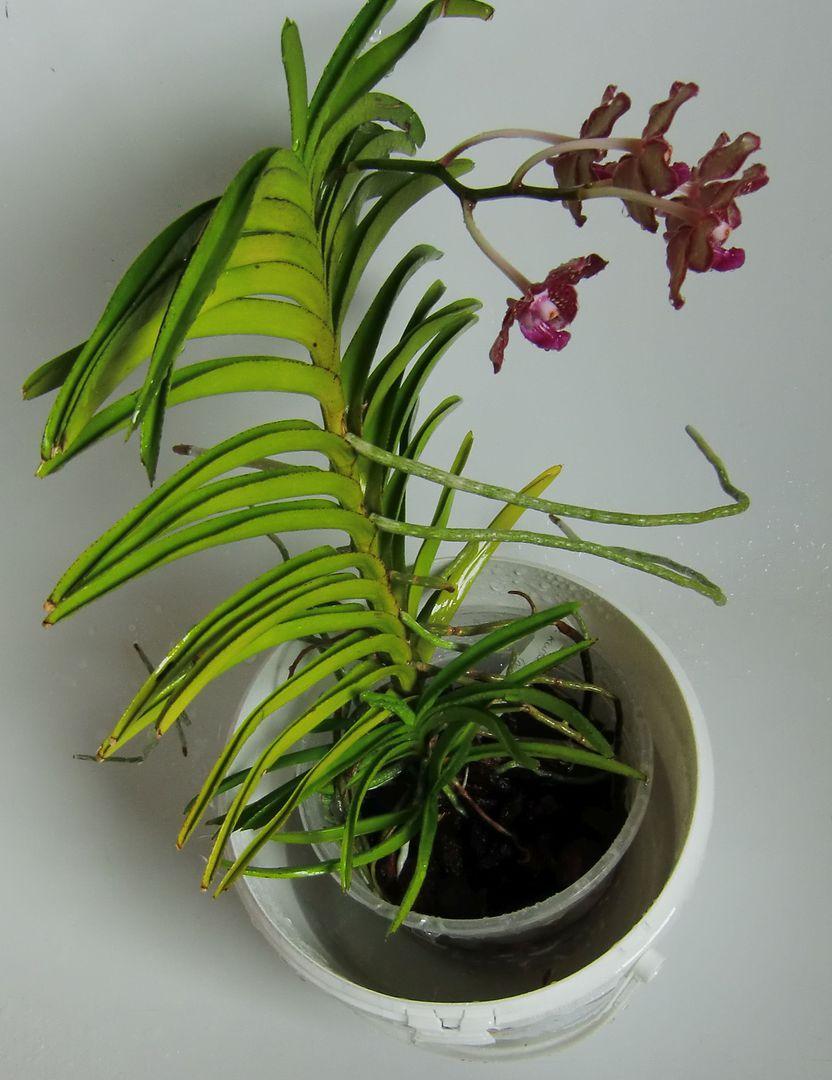 meine gro e leidenschaft die phalaenopsis tauchen. Black Bedroom Furniture Sets. Home Design Ideas