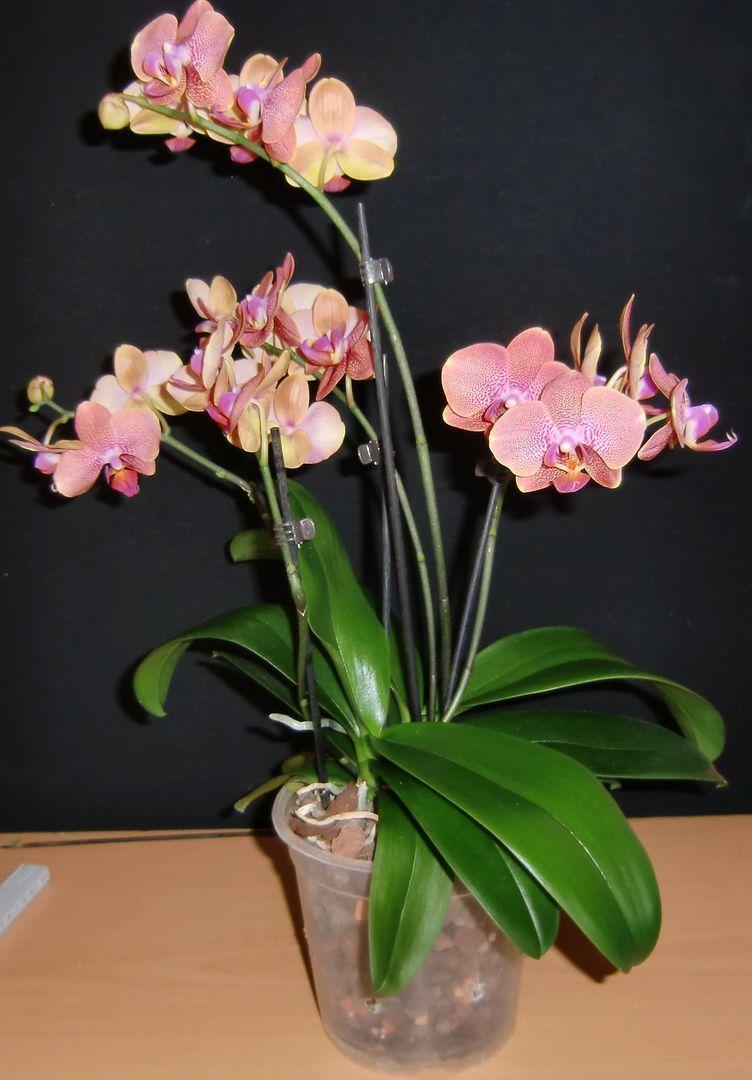 meine gro e leidenschaft die phalaenopsis wichtiges beim kauf einer phalaenopsis. Black Bedroom Furniture Sets. Home Design Ideas