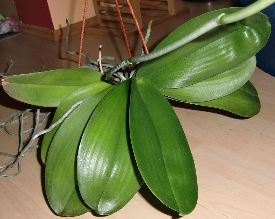 meine gro e leidenschaft die phalaenopsis blattglanzsprays wunderpulver. Black Bedroom Furniture Sets. Home Design Ideas