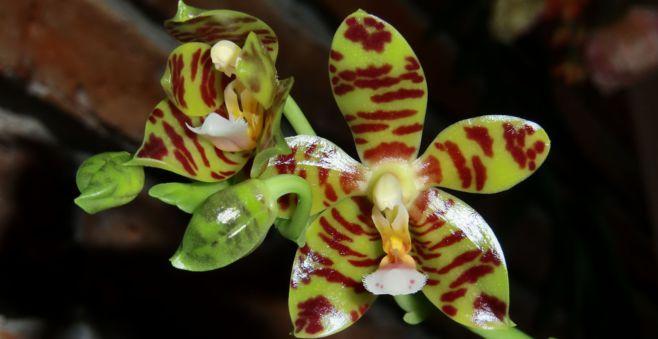 orchideen tauchen orchideen tauchen so einfach geht 39 s majas pflanzenblog mehrere orchideen. Black Bedroom Furniture Sets. Home Design Ideas